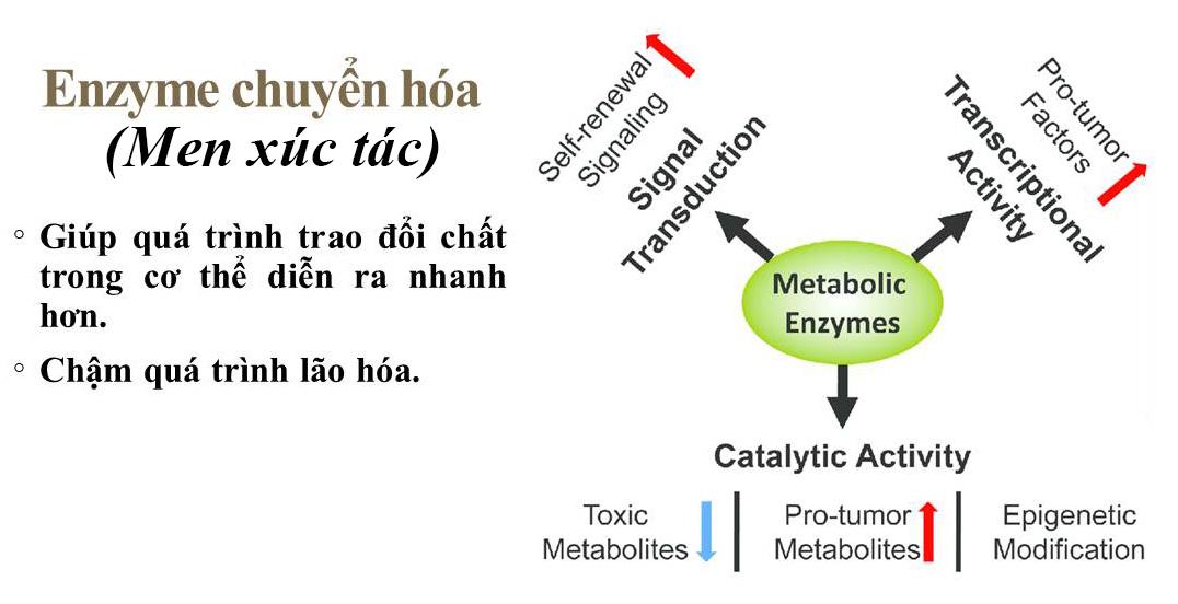 Enzyme chuyển hóa